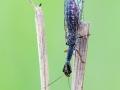 Xanthostigma xanthostigma, Kamelhalsfliege, snakefly