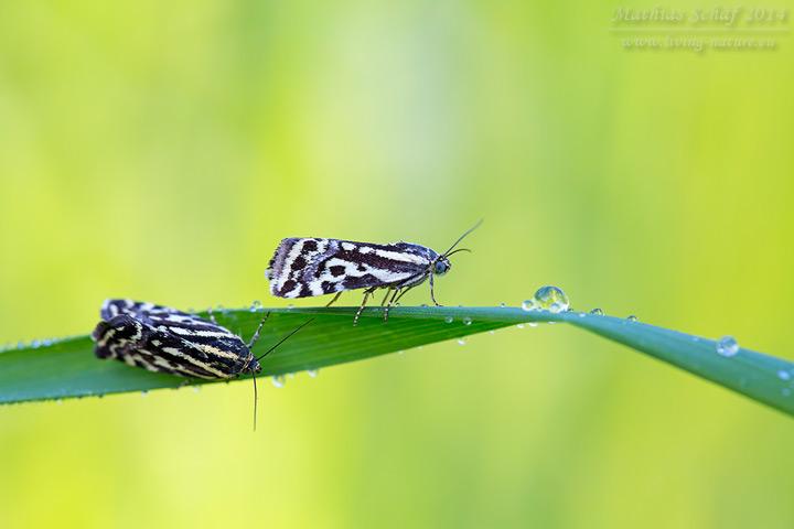 Ackerwinden-Bunteulchen, Emmelia trabealis, Spotted Sulphur