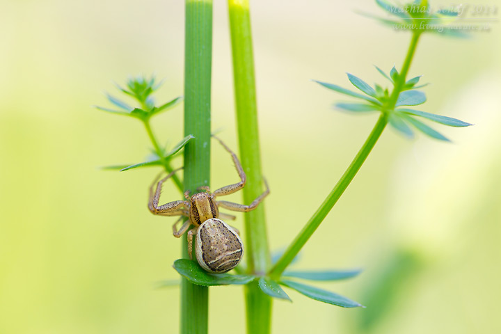 Braune Krabbenspinne, Busch-Krabbenspinne, Xysticus cristatus