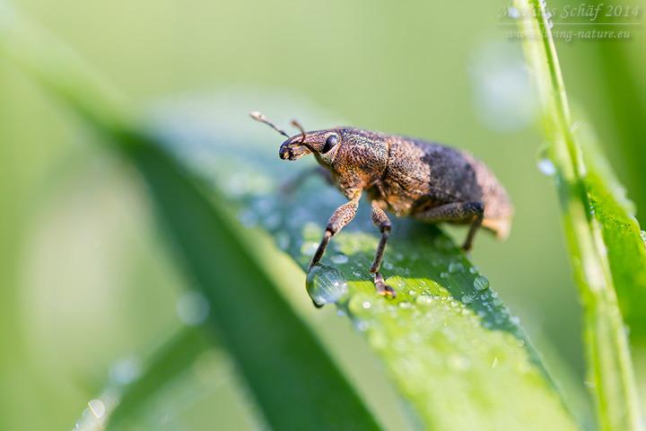 Distelgallenrüssler, Cleonis pigra, sluggish weevil