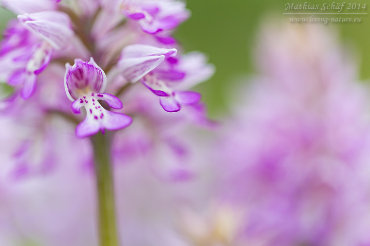 Helm-Knabenkraut, Orchis militaris, military orchid