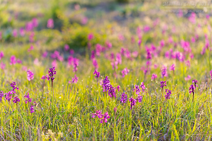 Kleines Knabenkraut, Orchis morio,  green-winged orchid