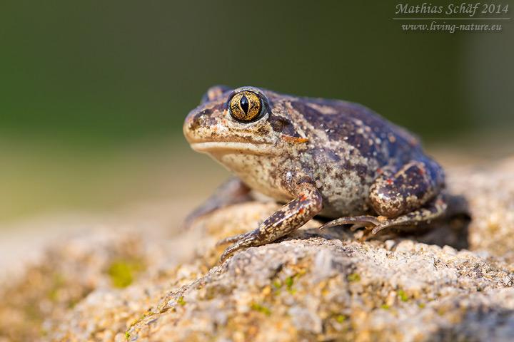 Knoblauchkröte, Pelobates fuscus