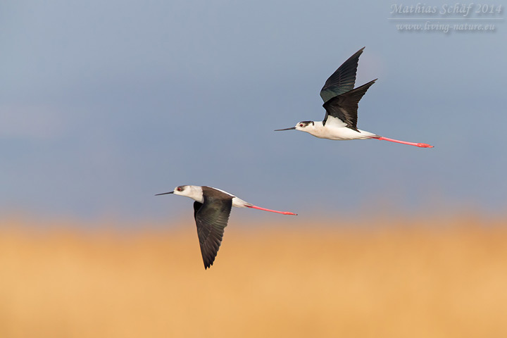 Stelzenläufer, Black-winged Stilt, Himantopus himantopus