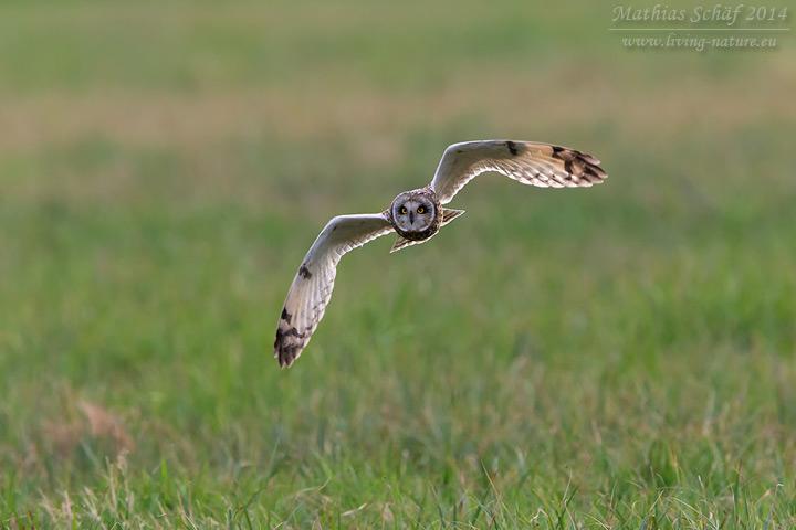 Sumpfohreule, Short-eared Owl, Asio flammeus