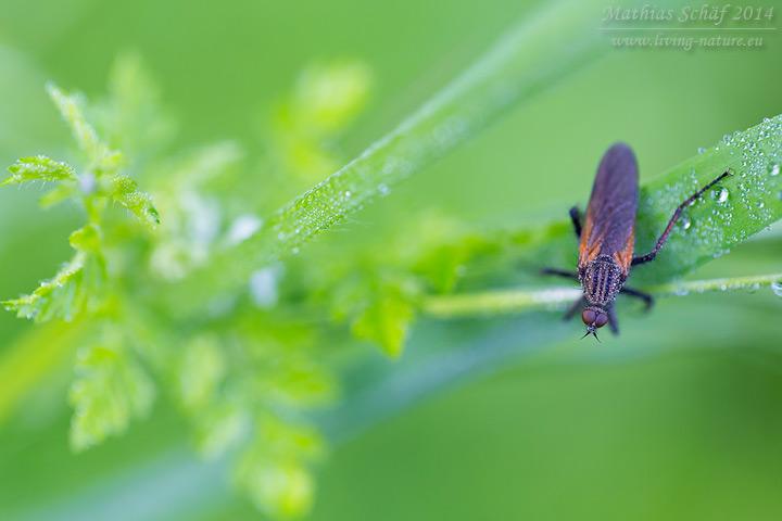 Tanzfliege, Empididae