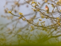 Bluthänfling, Eurasian Linnet, Carduelis cannabina