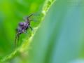 Dunkle Wolfspinne, Pardosa amentata, spotted wolf spider