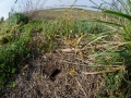 Feldgrille, Gryllus campestris, Field cricket