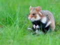 Feldhamster, Cricetus cricetus, European hamster