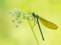 Gebänderte Prachtlibelle, Calopteryx splendens, Banded Demoiselle