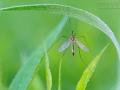 Gefleckte Wiesenschnake, Nephrotoma appendiculata, spotted crane fly