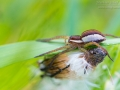 Gerandete Jagdspinne, Listspinne, Dolomedes fimbriatus, raft spider
