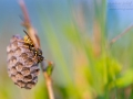 Heide-Feldwespe, Polistes nimpha, paper wasp