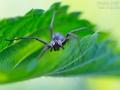 Listspinne, Pisaura mirabilis, nursery web spider