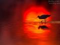 Säbelschnäbler, Pied Avocet, Recurvirostra avosetta
