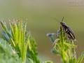Schnellkäfer, Elateridae