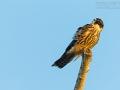 Baumfalke, Hobby, Falco subbuteo
