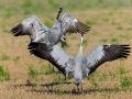 Kranich, Common Crane, Grus grus