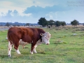 Kuh, Cow