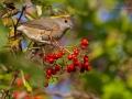 Mönchsgrasmücke, Blackcap, Sylvia atricapilla