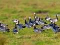 Weißwangengans, Nonnengans, Barnacle Goose, Branta leucopsis