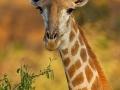 Giraffe / Giraffe / Giraffa camelopardis