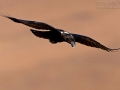 Geierrabe / African White-necked Raven / Corvus albicollis