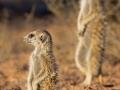 Erdmännchen,  Meerkat, Suricate, Suricata suricatta
