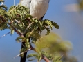 Kaptäubchen, Namaqua Dove, Oena capensis
