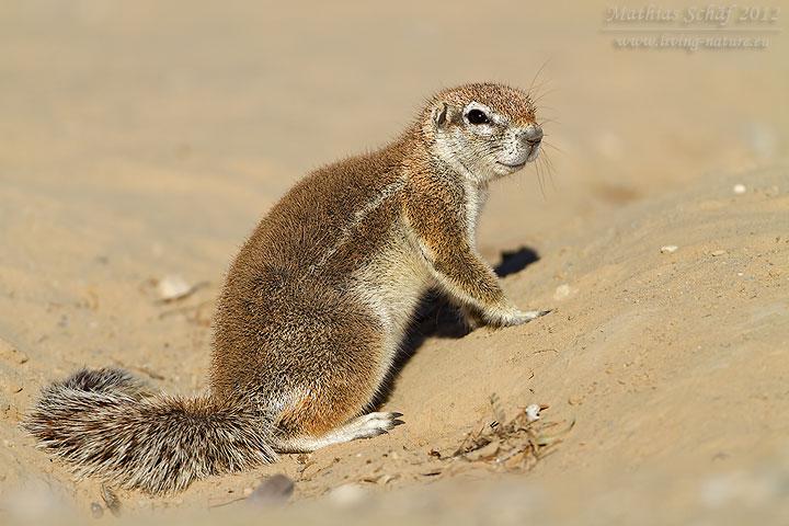 Erdhörnchen, Ground Squirrel