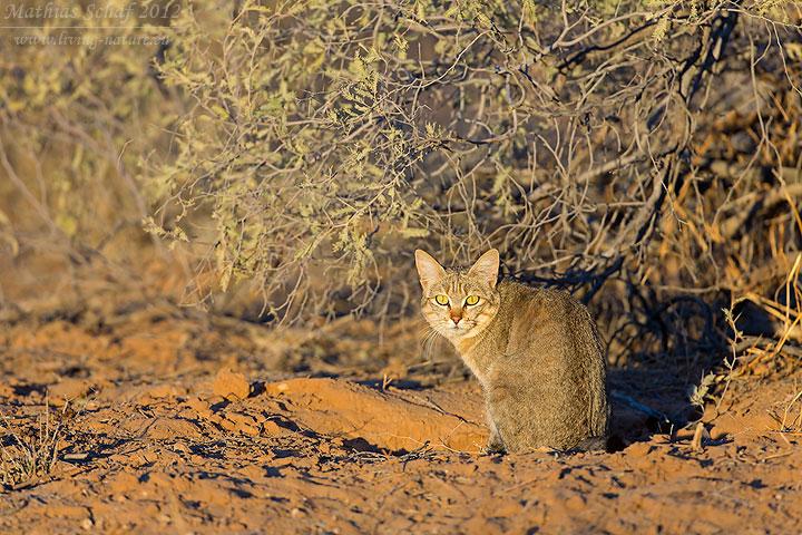 Falbkatze, African Wildcat, Felis silvestris lybica