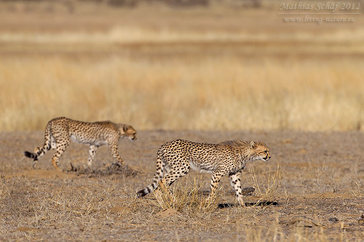 Gepard, Acinonyx jubatus, cheetah, guepardo, chita, guépard