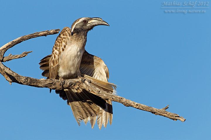 Grautoko, African Grey Hornbill, Tockus nasutus