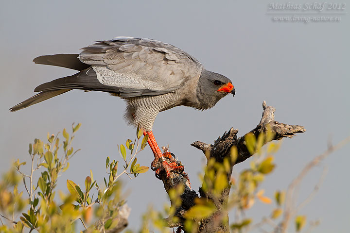Großer Singhabicht, Pale Chanting-Goshawk, Melierax canorus