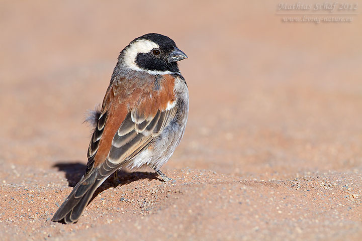 Kapsperling, Cape Sparrow, Mossie, Passer melanurus