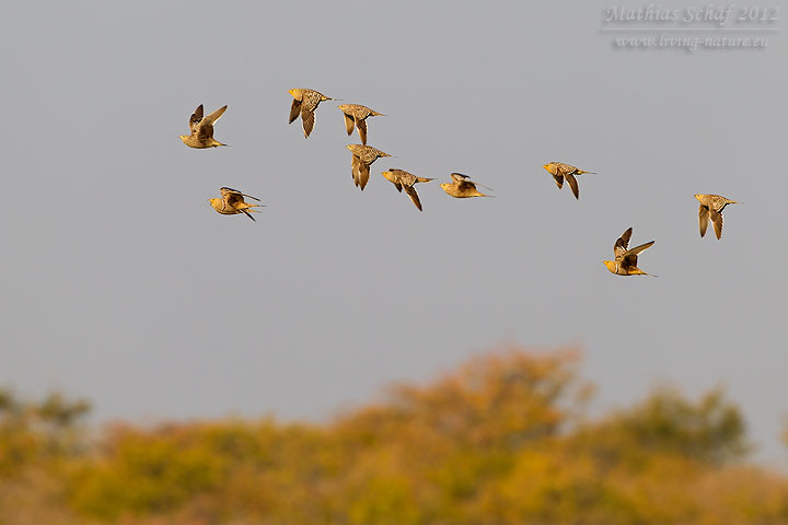 Namaflughuhn, Namaqua Sandgrouse, Pterocles namaqua