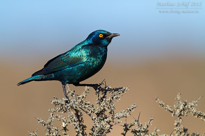 Rotschulter-Glanzstar, Red-shouldered Glossy Starling, Lamprotornis nitens