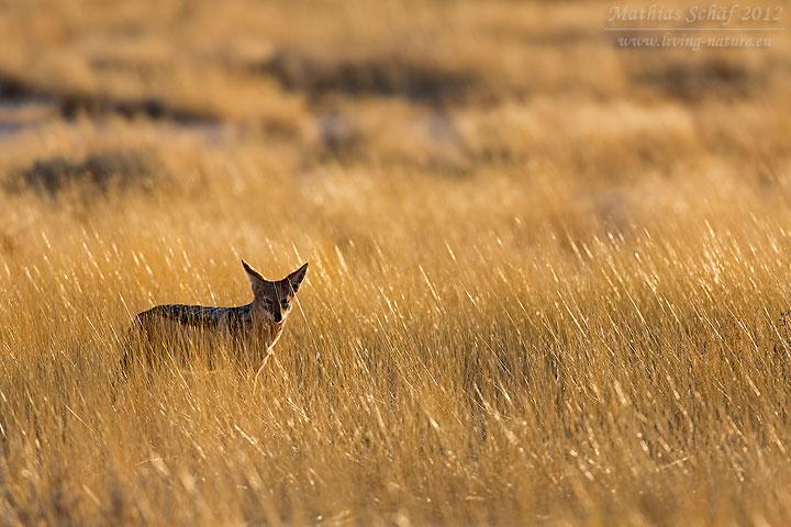 Schabrackenschakal, Black-backed jackal, Canis mesomelas