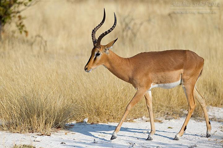 Schwarznasenimpala, Black-faced Impala, Aepyceros melampus petersi