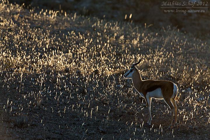 Springbock, Springbok, Antidorcas marsupialis