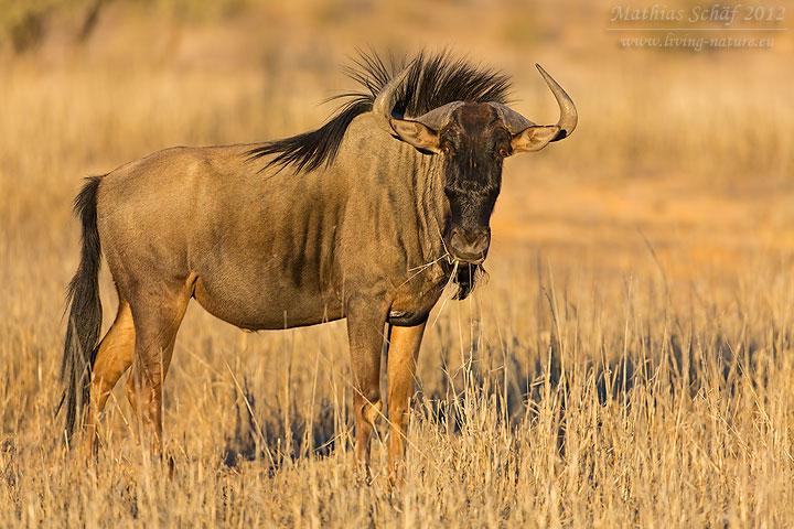 Streifengnu, Blue Wildebeest, Connochaetes taurinus