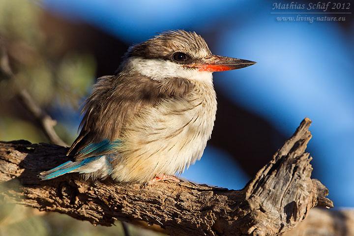 Streifenliest, Striped Kingfisher, Halcyon chelicuti