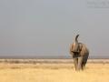 Afrikanischer Elefant, African Bush Elephant, Loxodonta africana