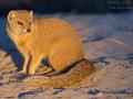 Fuchsmanguste, Yellow Mongoose, Cynictis penicillata