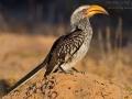 Südlicher Gelbschnabeltoko, Southern Yellow-billed Hornbill, Tockus leucomelas