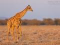 Giraffe, Giraffe, Giraffa camelopardalis