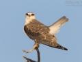 Gleitaar, Black-shouldered Kite, Elanus caeruleus