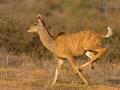 grosser_kudu_5dmkGroßer Kudu, Greater Kudu, Tragelaphus trepsiceros3_01430