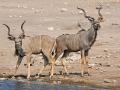 Großer Kudu, Greater Kudu, Tragelaphus trepsiceros